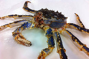 Wholesale king crab: Live and Frozen Blue King Crab