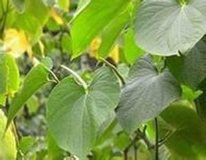 Wholesale shikimic acid: Kava-kava Extract 70%