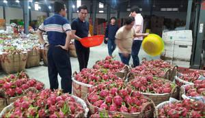 Wholesale vietnam: Dragon Fruit Vietnam