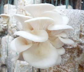 Wholesale Mushrooms & Truffles: Mushroom