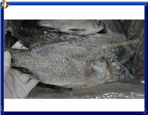 Wholesale whole frozen fish: Frozen Black Tilapia Fish Whole Round