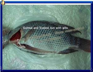 Wholesale frozen tilapia fish: China Frozen Black Tilapia Fish Gutted and Scaled