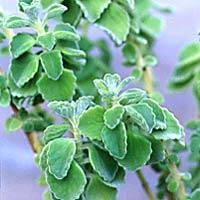Sell Coleus Forskoli Extract