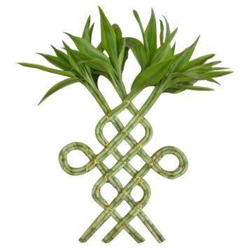 Indoor plants lucky bamboo dracaena money tree pachira