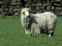 Sell raw mohair wool