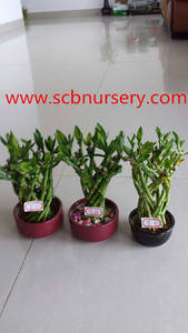 Wholesale House Plants: Lucky Bmboo Cage