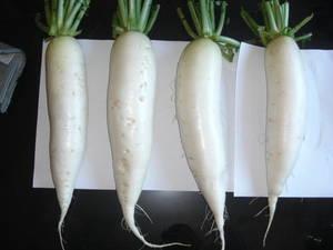 Wholesale Fresh Radish: Fresh White Radish