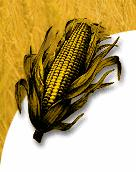 Feed Yellow Corn