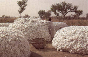 Wholesale Cotton Seeds: Cotton,Njansa,Garlic(680162352)