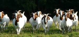 Wholesale Agricultural Product Stock: Boer Goat
