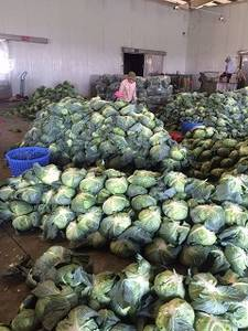 Wholesale Fresh Cabbages: Fresh Cabbage