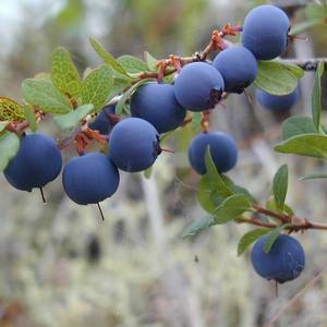 Wholesale bilberry: Supply Bilberry Extract Powder