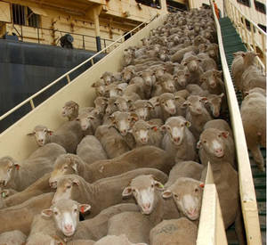 Wholesale Poultry & Livestock: Live Sheep and Lamb