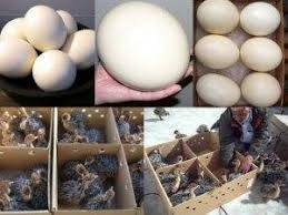 Wholesale ostrich egg: High Quality Ostrich Eggs and Chicks Available