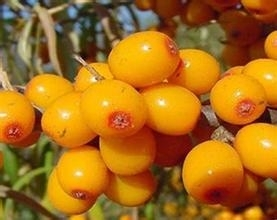 Wholesale organic wine: Sea Buckthorn Extract, Sea Buckthorn Powder, Extract Factory, Shaanxi Yongyuan Bio