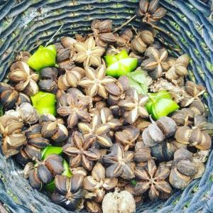 Wholesale high quality nuts: High Quality Sacha Inchi Nuts From Vietnam