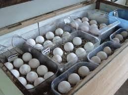 Wholesale duck eggs: Fertile Hatching Duck Eggs for Sale