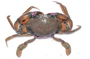 Wholesale live mud crabs: Live Mud Crab