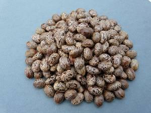 Wholesale Castor Seeds: 100% High Quality Castor Seeds for Sale ...Good Price