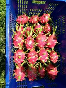 Wholesale b: Fresh Dragon Fruit