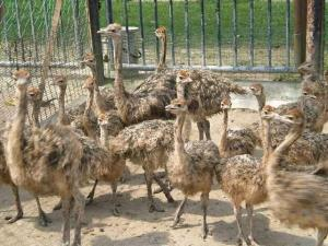 Wholesale hatchery: Fertile Ostrich Eggs for Hatching and Healthy Ostrich Chicks for Sale - Birds for Sale