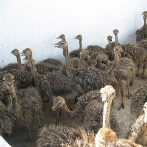 Wholesale ostrich eggs for sale: Parrots,Ostrich, Chicken Chicks and Fertile Eggs for Sale