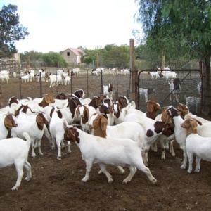 Wholesale top quality live sheep: 100% Full Blood LIVE Boer Goats / Live Purebred Saanen Goats /Whatsapp..+237657028176