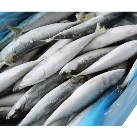 Frozen Pacific Mackerel Fish,Frozen Horse Mackerel Fish