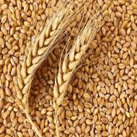 Wheat Grain (13.5 Protein)