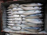 Sell Fresh and Frozen Horse Mackerel Fish, Herring Fish ,Dry...