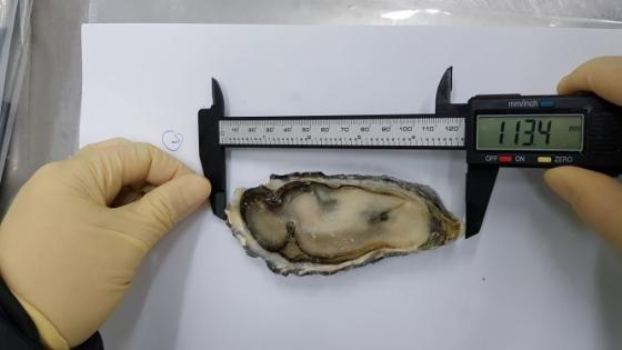 Sell frozen half shell oyster