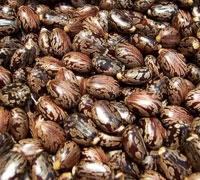Castor Seeds for Sale