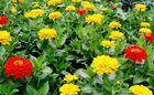 Wholesale tagetes erecta: 20%-50% Tagetes Erecta Extract ( Lutein ) , Natural Dietary Supplement Ingredient