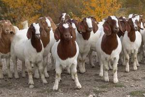 Wholesale boer goats: Boer Goats with Full Blood