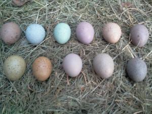 Wholesale ostrich eggs for sale: Fertile Tested Parrot Eggs Available for Sale 100%