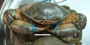 Wholesale fresh live mud crabs: Live Mud Crab