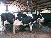 Live Dairy Cows and Pregnant Holstein Heifers Cow