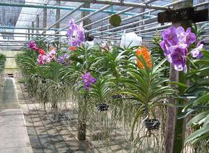 Wholesale Fresh Cut Flowers: Orchid Plant: Den.Poper Red