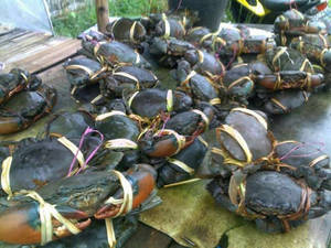 Wholesale Dried Food: Live Mud Crabs