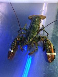 Wholesale Shellfish: Live Lobsters