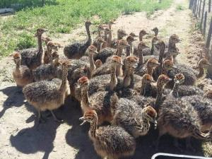 Wholesale Poultry & Livestock: First Grade Approved Healthy Vaccinated Ostrich Chicks/ Ostrich Chicks Ready for Export
