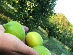 Wholesale Fruit: Mayer Lemon