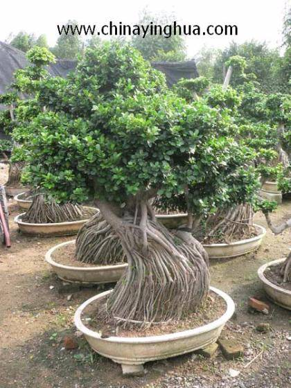 ficus ficus microcarpa ficus bonsai ficus ginseng id 3116206 product details view ficus ficus. Black Bedroom Furniture Sets. Home Design Ideas