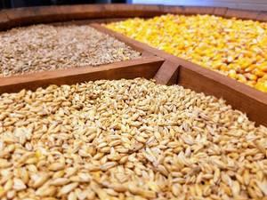 Wholesale barley: Wheat, Yellow Corn, Feed Barley From Germany