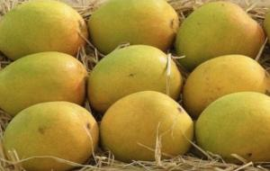 Wholesale weighing dish: Alphonso Mango