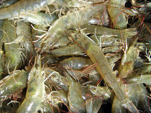 Wholesale dried shrimp: Live, Frozen and Dried Shrimps, Crabs and Lobsters