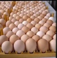 Healthy Ostrich Chicks & Eggs, Parrot Eggs, Chicken Eggs,Fertilized / Hatching Ostrich Egg