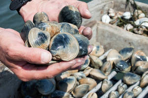 Wholesale frozen shellfish: Frozen Blood Clam,Oyster,Pud,Shrimp,Prawn,Stone Crab Claw