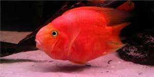Wholesale golden arowana: Clarion Angelfish,Red Parrot Cichlid,Bicolor Parrotfish, Flower Horn Fish,