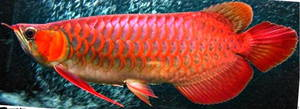 Wholesale chili arowana: Arowana Fishe